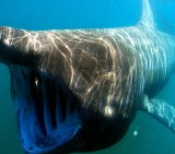 Basking-Shark-1