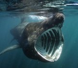 Basking-Shark-3