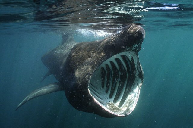 Basking Shark Description Habitat Image Diet and Interesting