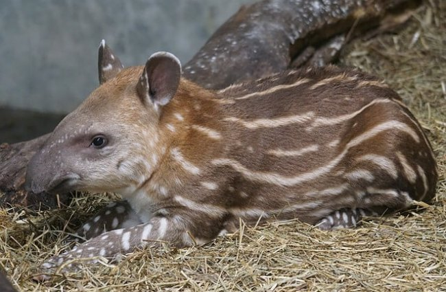 Tapir - Descriptions, Habitats, Images, Diets, and