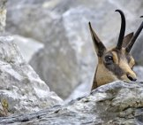 Chamois Peeking From A Rocky Hiding Place