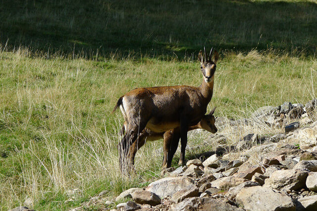 Mother chamois and her calf