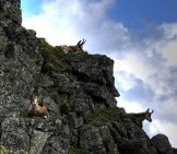 Chamois On Their Rocky Perches