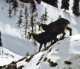 Chamois On The Move