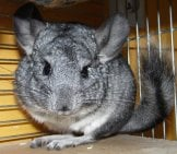 Grey Chinchilla