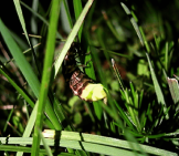 Glow Worm 2 _ Female In The Grass