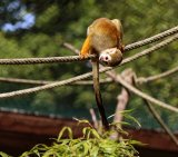 Squirrel Monkey 1