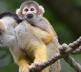 Squirrel Monkey 4