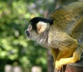 Squirrel Monkey 5