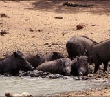 Wild Boar 3_License Garvie