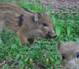 Wild Boar 5_License Eviston