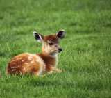 Baby Sitatunga Lying On Fresh Green Grass