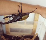 Hercules Beetle 3_License Estiti