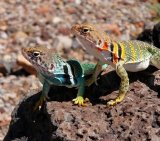 Lizard 10_Two Collared Lizards