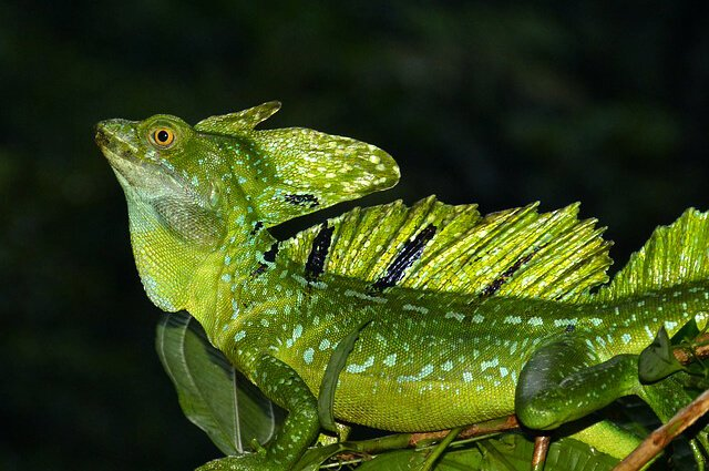 Lizard - Description, Habitat, Image, Diet, and ...