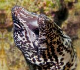 Moray Eel 1_Spotted Eel Teeth_License Wills