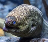 Moray Eel 2_License Fine