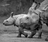 Rhinoceros 1_Mother And Baby