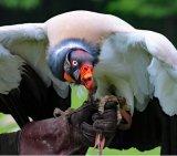 Vulture 3_King Vulture