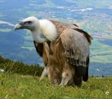 Vulture 4_White Backed
