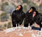 Vulture 6_California Condor_License