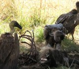 Vulture7 _White Eating Wildebeest