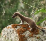 Weasel 2_Stote_License Nandy