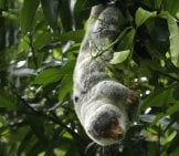 Cuscus 1_Common Spotted Cuscus_License Aviceda