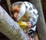 Cuscus 2_Eating Starfruit_License Oarranzli