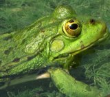 Tree Frog 1_Aquatic