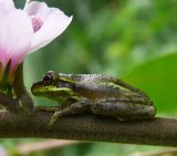 Tree Frog 2_Fern Forest_License Bass