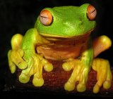 Tree Frog 4_Red Eyed_License Liquidghoul