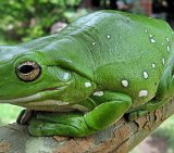 Tree Frog 5_Magnificent Tree Frog_License Liquidghoul