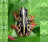 Tree Frog 6_Congo_License Hobgood