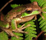 Tree Frog 8_New England_License Liquidghoul