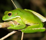 Tree Frog 9_White-Lipped_License Harrison