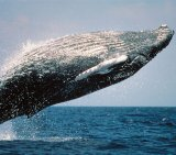 Humpback Whale 1_Breaching_Pd