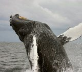 Humpback Whale 2_Pd W Cite