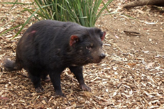 Tasmanian devil in zoo enclosure