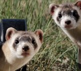 Black-Footed Ferret 1