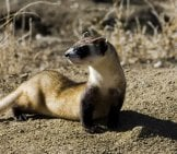 Black-Footed Ferret 2