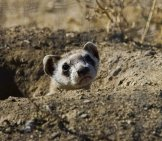 Black-Footed Ferret 3