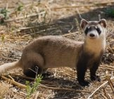 Black-Footed Ferret 4