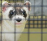 Black-Footed Ferret 5