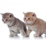 British Shorthair 2