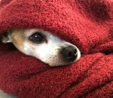 Chihuahua 3_In A Blanket