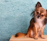 Chihuahua 4_Long Haired