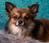 Chihuahua 6_Long Haired