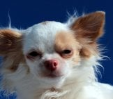 Chihuahua 9_Long Haired