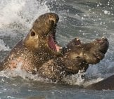 Elephant Seal 1_Fighting_Baird